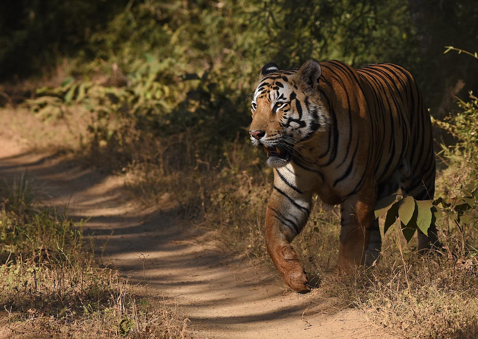 tiger tad 7801 anishandheria uX2PBa.tmp