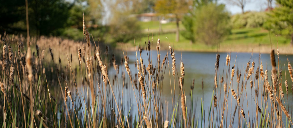exploring nature - reeds in front of a large clean pond on a beautiful fall or winter day